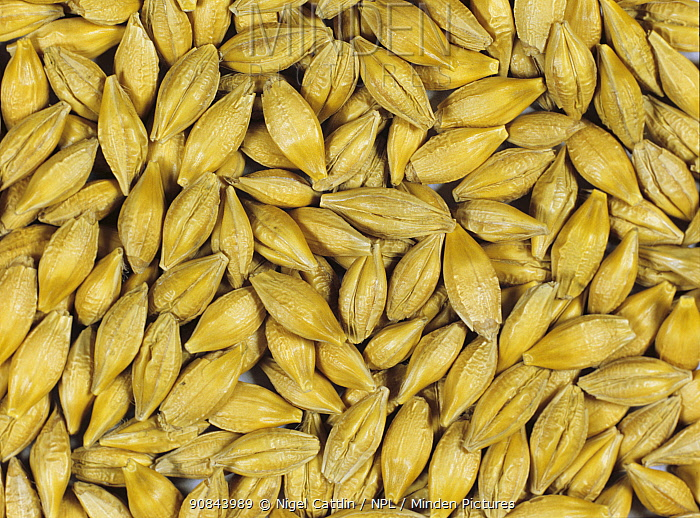Barley (Hordeum vulgare) grain at start of malting process, seeds prior to germination. Sequence 1/7.