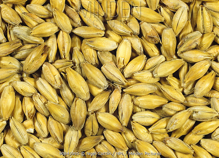 Barley (Hordeum vulgare) grain at end of malting process following chitting and kilning. Malt used in brewing and distilling. Sequence 7/7.