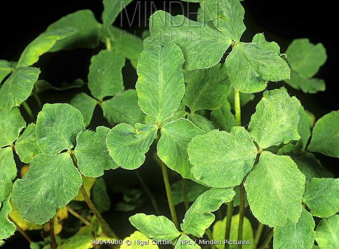 Subterranean clover stunt virus (SCSV) damage and distortion to Red clover (Trifolium pratense) leaves.