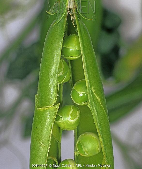 Peas (Pisum sativum) damaged by Pea seed-borne mosaic virus (PSbMV), in pod.