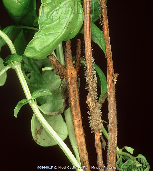 Grey mould (Botrytis cinerea) fungal infection on stem of Sweet basil (Ocimum basilicum).