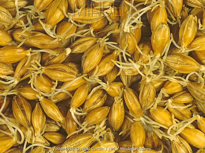 Malting barley seeds germinating during the malt making process, for use in brewing and distilling.