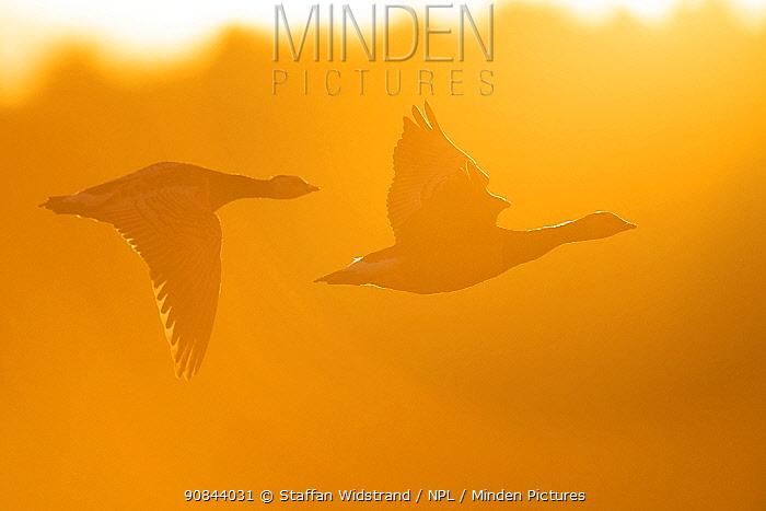 Barnacle goose (Branta leucopsis) two in flight in haze. Hjalstaviken nature reserve, Uppland, Sweden. September.