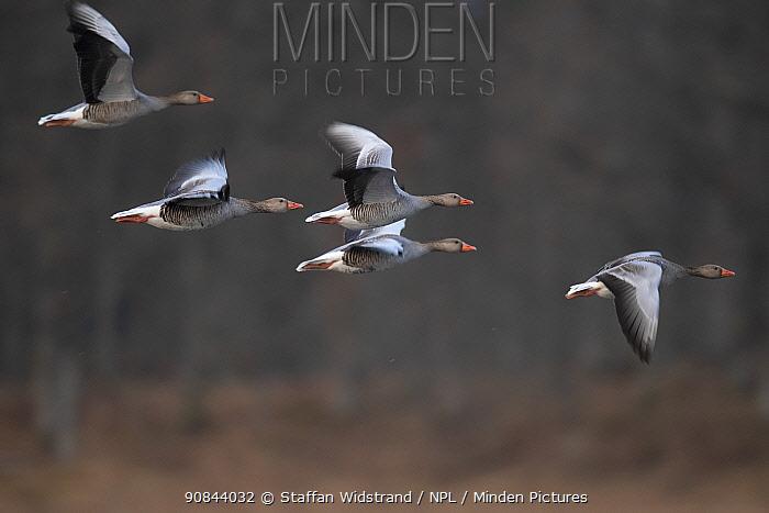 Greylag goose (Anser anser) flock in flight. Hjalstaviken nature reserve, Uppland, Sweden. April.