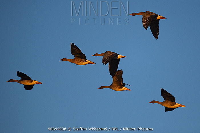 Bean goose (Anser fabalis), six in flight. Hjalstaviken nature reserve, Uppland, Sweden. October.