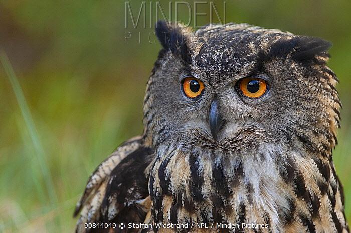 European eagle owl (Bubo bubo) portrait. Vastmanland, Sweden. May. Captive.