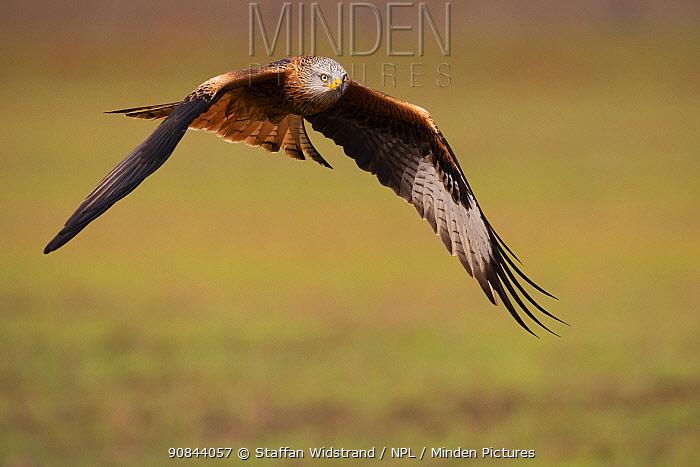 Red kite (Milvus milvus) in flight above ground. Calera y Chozas, Castile-La Mancha, Spain. December.