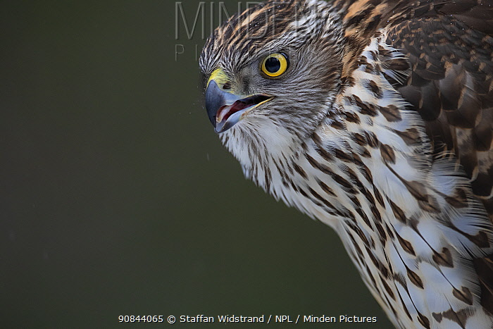 RF - Goshawk (Accipiter gentilis) juvenile, portrait. Flatanger, Trondelag, Norway. February. (This image may be licensed either as rights managed or royalty free.)
