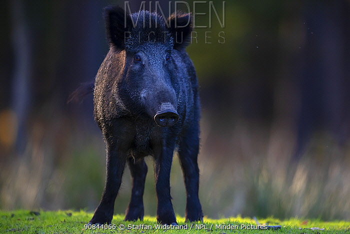 RF - Wild boar (Sus scrofa) sow. Eriksberg Wildlife and Nature Park, Blekinge, Sweden. October. Captive. (This image may be licensed either as rights managed or royalty free.)