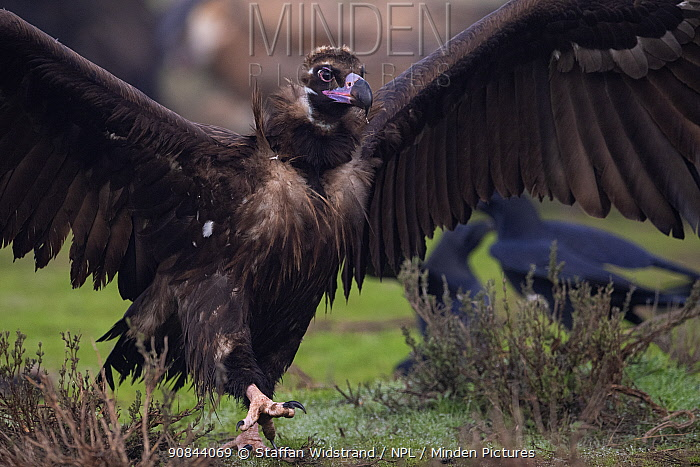 RF - Cinereous vulture (Aegypius monachus) with wings spread, running towards feeding vultures to dominate and chase them away from food. Calera y Chozas, Castile-La Mancha, Spain. December. (This image may be licensed either as rights managed or royalty free.)