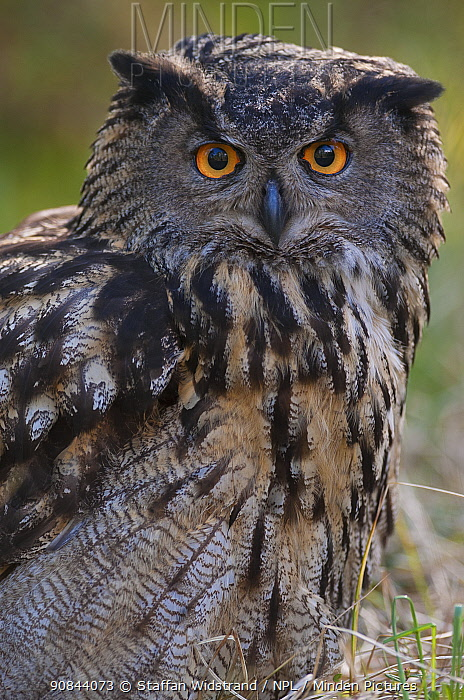 RF - European eagle owl (Bubo bubo) portrait. Vastmanland, Sweden. May. Captive. (This image may be licensed either as rights managed or royalty free.)