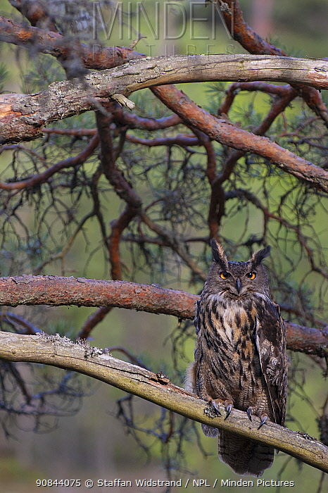 RF - European eagle owl (Bubo bubo) perched in tree. Vastmanland, Sweden. May. Captive. (This image may be licensed either as rights managed or royalty free.)