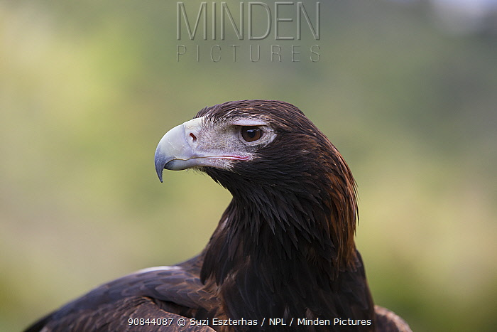 Wedge-tailed eagle (Aquila audax) portrait. Lamington National Park, Queensland, Australia. Captive.