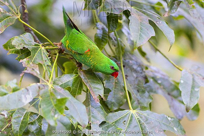 Scaly-breasted lorikeet (Trichoglossus chlorolepidotus) in tree. Brisbane, Queensland, Australia.
