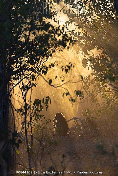 Chacma baboon (Papio ursinus) sitting in rainforest in morning light. Jao Reserve, Botswana.