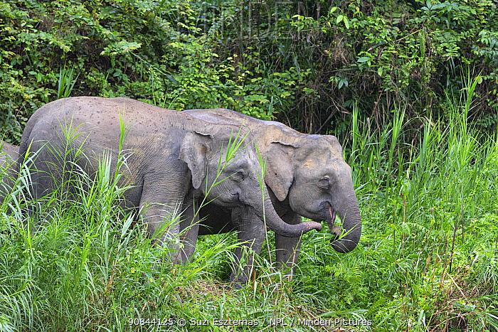 Borneo pygmy elephant (Elephas maximus borneensis), two feeding. Kinabatangan River, Borneo, Malaysia.