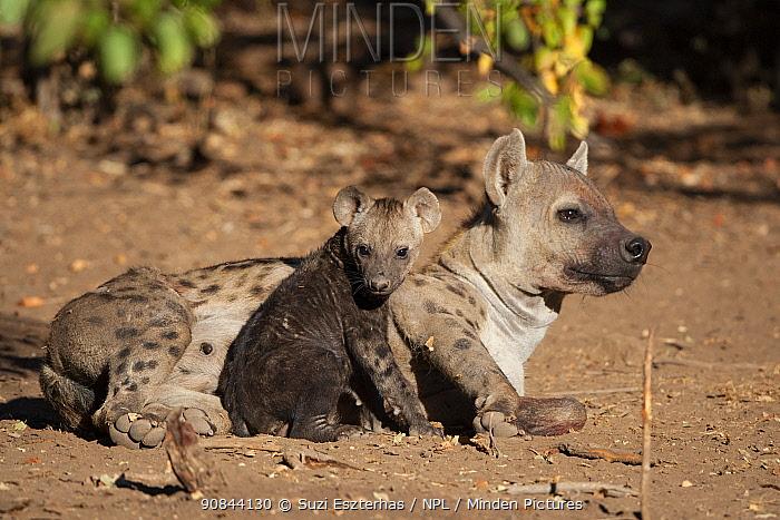 Spotted hyena (Crocuta crocuta) female lying down with cub sitting beside her. Mashatu Game Reserve, Botswana.