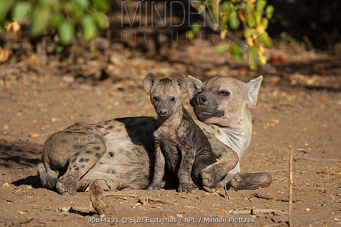 Spotted hyena (Crocuta crocuta) female and cub resting. Mashatu Game Reserve, Botswana.