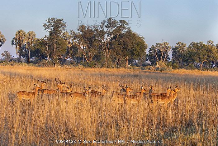 Impala (Aepycerus melampus) herd in grassland in evening light. Okavango Delta, Botswana.