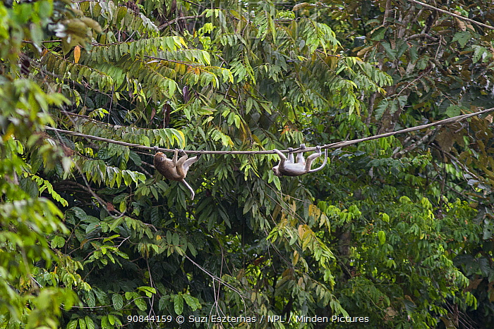 Long-tailed macaque (Macaca fascicularis), two climbing across bridge for monkeys in rainforest. Sabah, Malaysia.