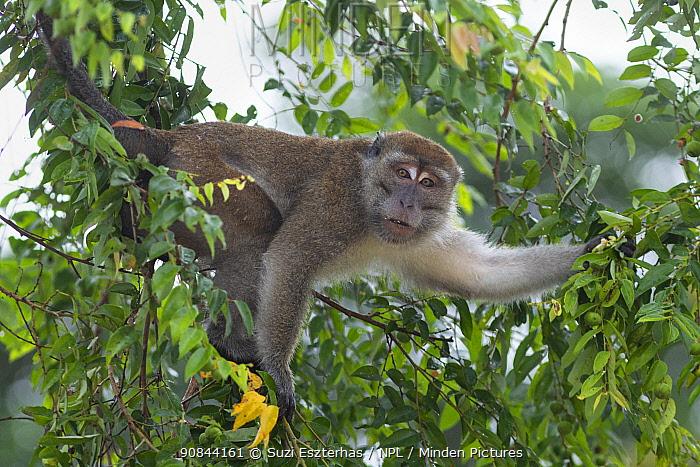 Long-tailed macaque (Macaca fascicularis) in tree. Kinabatangan River, Borneo, Malaysia.