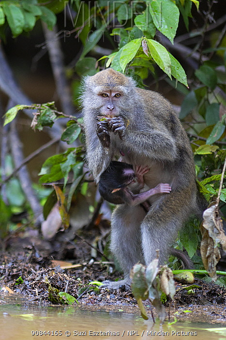 Long-tailed macaque (Macaca fascicularis) female suckling baby whilst eating fruit. Kinabatangan River, Borneo, Malaysia.