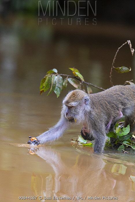 Long-tailed macaque (Macaca fascicularis) female with baby retrieving fruit to eat from Kinabatangan River, Borneo, Malaysia.
