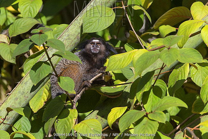 Black tufted marmoset (Callithrix penicillata) sitting amongst leaves in tree. Serra de Canastra National Park, Brazil.