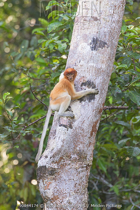Proboscis monkey (Nasalis larvatus) sub-adult climbing up tree trunk. Tanjung Puting National Park, Indonesia.