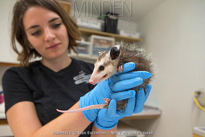 Virginia opossum (Didelphis virginiana), orphan aged three months, held by wildlife rehabilitator. Sarvey Wildlife Care Center, Arlington, Washington, USA. June 2015. Model released.