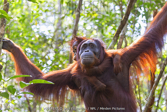 Bornean orangutan (Pongo pygmaeus) female with baby aged two years on back, in rainforest. Tanjung Puting National Park, Indonesia.