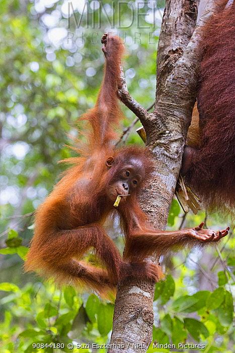Bornean orangutan (Pongo pygmaeus) baby aged two years hanging in tree. Tanjung Puting National Park, Indonesia.