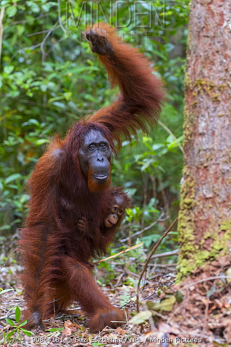 Bornean orangutan (Pongo pygmaeus) female walking with baby aged two years on forest floor. Tanjung Puting National Park, Indonesia.