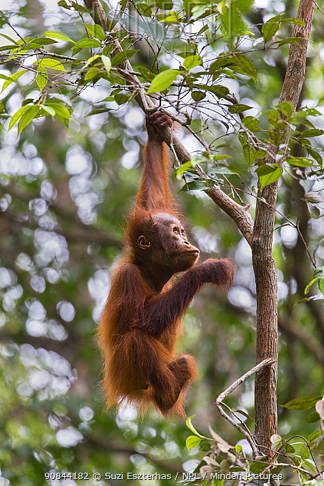Bornean orangutan (Pongo pygmaeus) aged two years hanging from branch in rainforest. Tanjung Puting National Park, Indonesia.