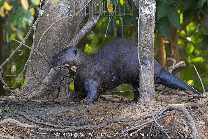 Giant otter (Pteronura brasiliensis) amongst tree trunks. Pantanal, Brazil.