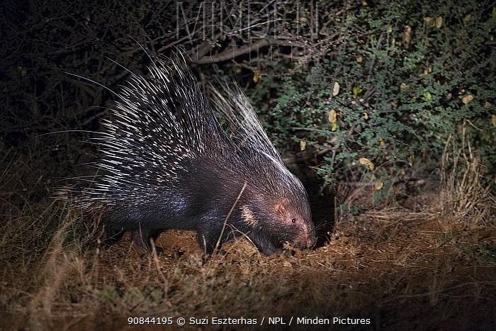 Cape porcupine (Hystrix africaeaustralis) walking at night. Kalahari Desert, South Africa.