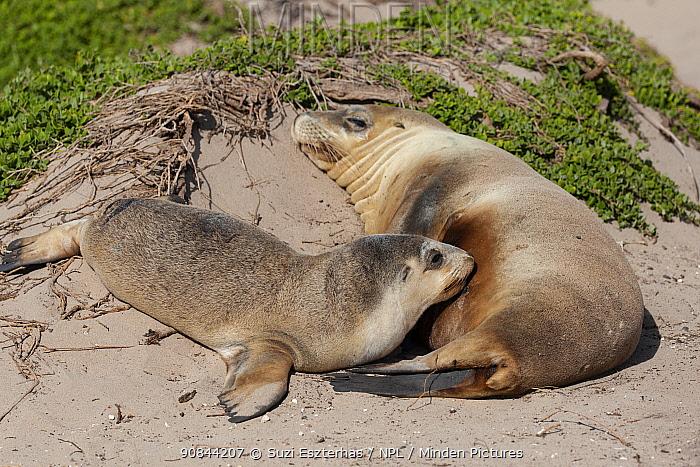 Australian sealion (Neophoca cinerea) female suckling pup on beach. Kangaroo Island, South Australia. November.