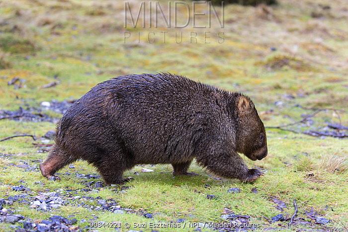 Common wombat (Vombatus ursinus) walking. Cradle Mountain National Park, Tasmania, Australia.
