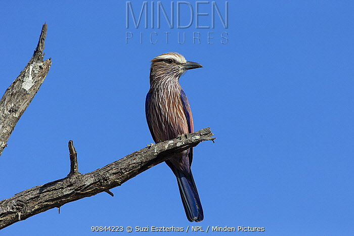 Purple roller (Coracias naevius) perched on tree snag. Timbavati Game Reserve, South Africa.