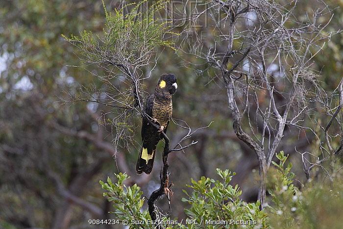 Yellow-tailed black cockatoo (Calyptorhynchus funereus) perched in tree. Kangaroo Island, South Australia.