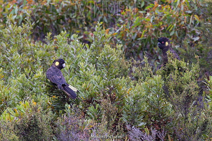 Yellow-tailed black cockatoo (Calyptorhynchus funereus), two perched in scrub. Kangaroo Island, Australia.