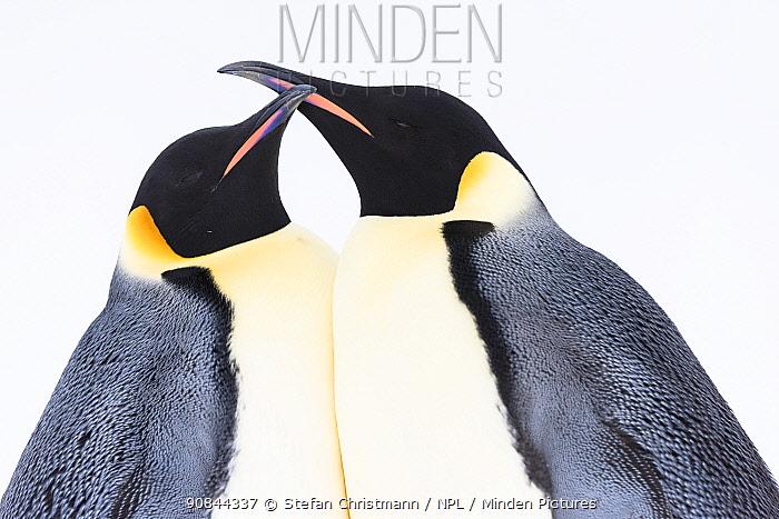 Emperor penguin (Aptenodytes fosteri) pair in courtship, Atka Bay, Antarctica. September. Bookplate.