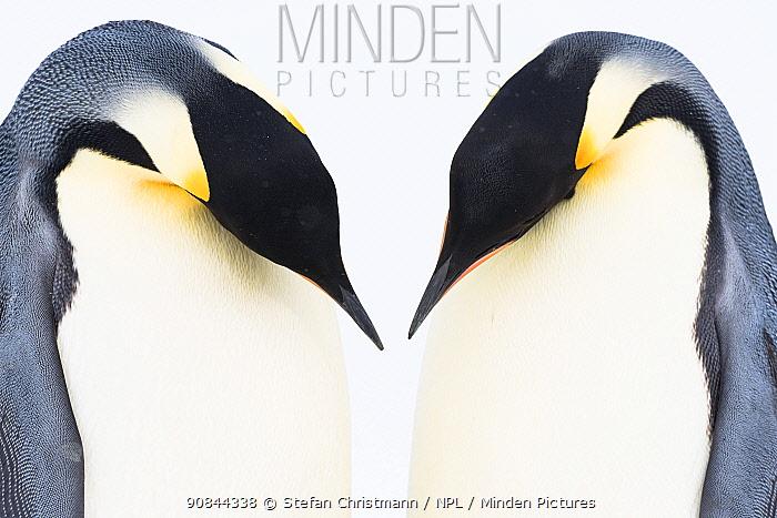Emperor penguin (Aptenodytes fosteri) pair during courtship, Antarctica.