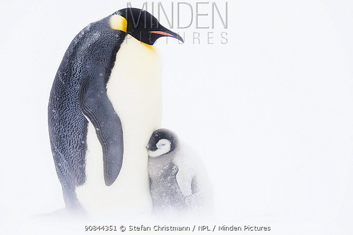 Emperor penguin (Aptenodytes fosteri) chick, aged 9-12 weeks, sheltering against its parent, Atka Bay, Antarctica. October. Bookplate.
