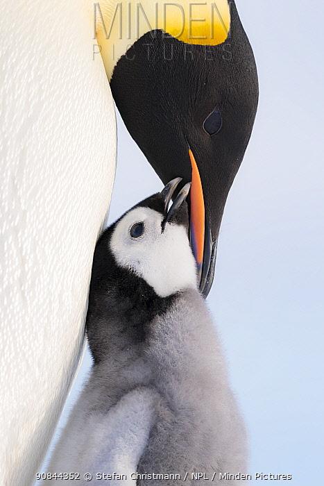 Emperor penguin (Aptenodytes fosteri) adult feeding chick, age 6-8 weeks, Antarctica.