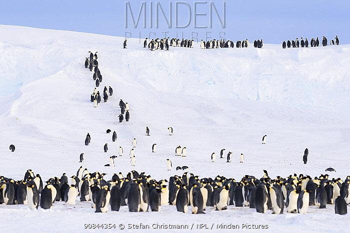 Emperor penguins (Aptenodytes fosteri) climbing steep ice ramps to get back onto the stable ice shelf, Atka Bay, Antarctica. September. Bookplate.