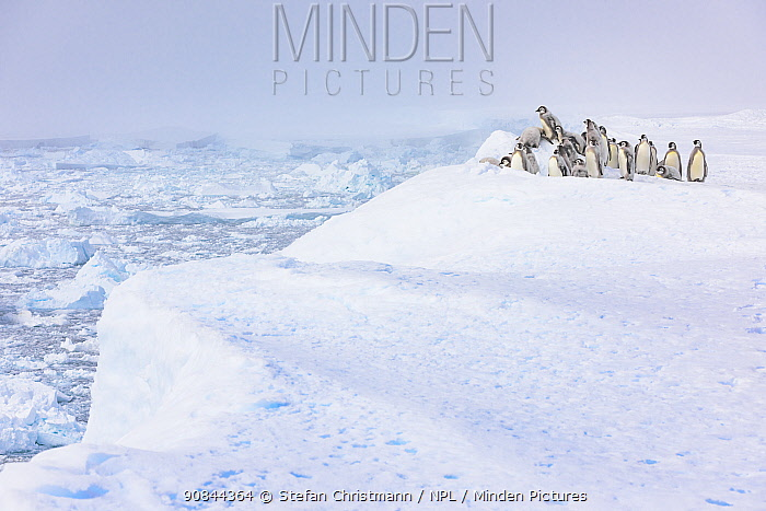 Emperor penguin (Aptenodytes fosteri) chicks aged 18-20 weeks, standing on the ice shelf as the sea ice below melts during polar summer, Atka Bay, Antarctica. December. Bookplate.