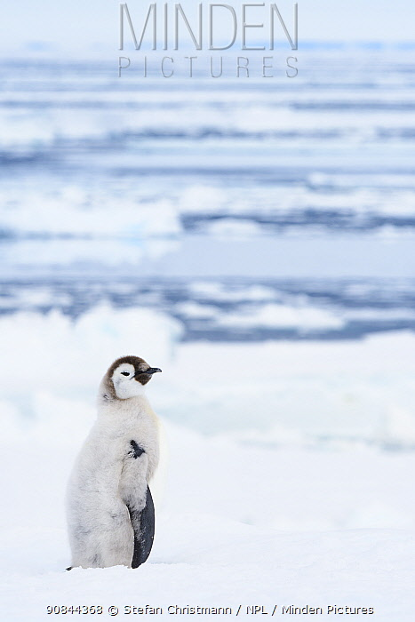 Emperor penguins (Aptenodytes fosteri) chick, age 20-24 weeks moulting out of downy feathers, Antarctica.
