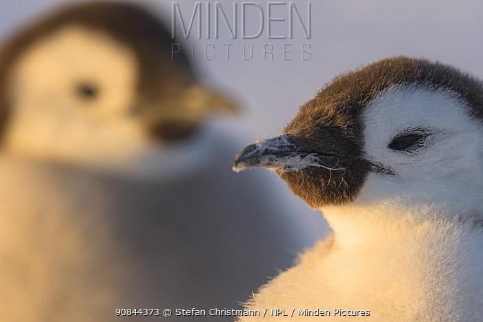 Emperor penguin (Aptenodytes fosteri) chick age 18-20 weeks, Antarctica.