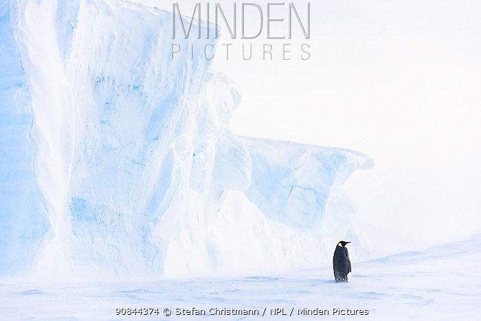 Emperor penguin (Aptenodytes fosteri) standing near iceberg, Atka Bay, Antarctica. October. Bookplate.